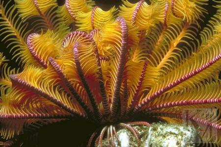 Морская лилия