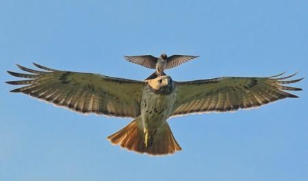 орел с орленком